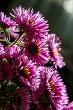 Pink aster flowers bouquet on dark background.