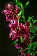 Pink orchid flowers on dark background.