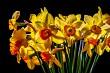 Yellow daffodil flowers on dark background.