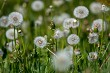 White dandelion flowers in green grass