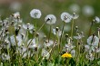 White dandelion field on green grass.