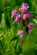 Pink rural flowers in green grass
