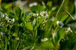 White strawberry flowers in green grass.