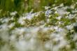 White wild flowers field on green grass.