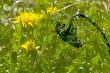 Sunflower in green dandelion meadow.