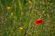 Blooming red poppy and yellow flowers on meadow.