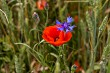 Blooming red poppy flowers and cornflower on meadow.