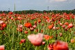 Landscape of red poppy flowers on meadow.