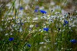 Daisies and cornflowers in green grass