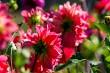 Pink dahlias in green garden.