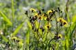 Yellow flowers on green field.
