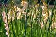 Gentle pink gladiolus in green garden.