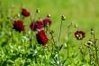 Dark red dahlia in green garden.