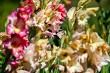 Background of colorful gladiolus in garden.