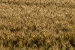 Background of wheat field in summer day.