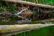 Ducks swimming in the river in Latvia