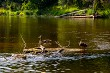 Ducks swimming on log in the river in Latvia.