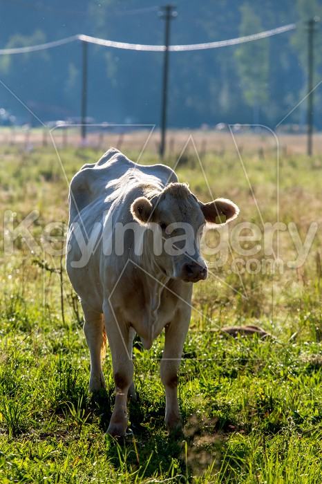 White cow pasture in green meadow. Photo #61099