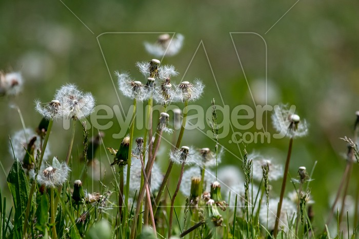White dandelion field on green grass. Photo #60662