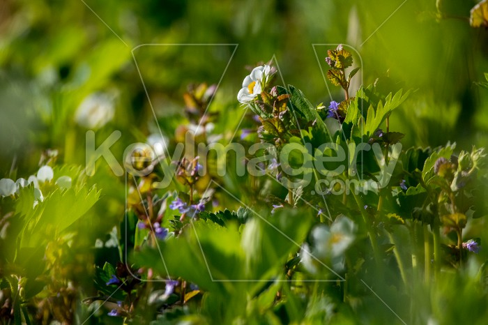 White strawberry flowers in green grass. Photo #60674