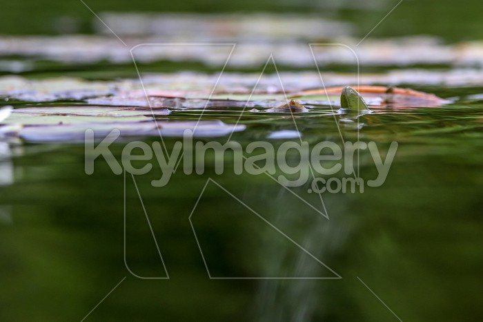 White water lilies in river. Photo #60756