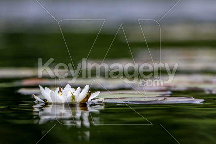 White water lily in water. Photo #60755