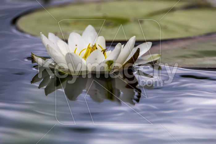 White water lily in water. Photo #60759