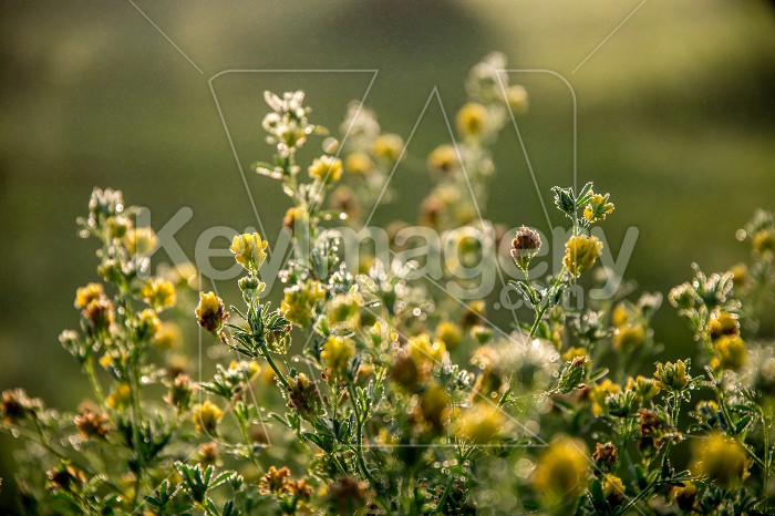 Yellow rural flowers on green field. Photo #61309