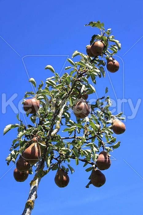 Pear Photo #46763