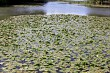 a river of water lilies
