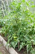 Tomato plants growing in home veggie plot