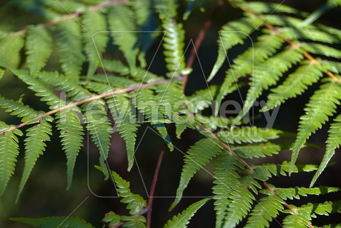 Fresh Fern Strands Diagonally Opposing Photo #4243