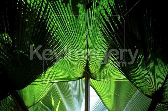 Fan-like leaves Photo #4147