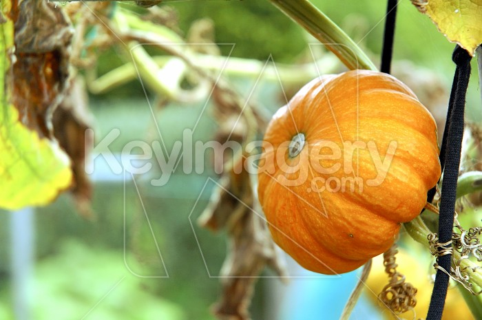 Hanging Pumpkin Photo #4491