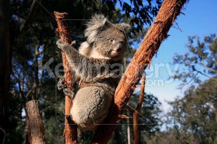 Koala Photo #4634