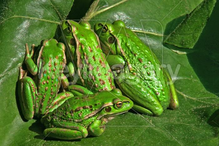 frog meeting  Photo #4838