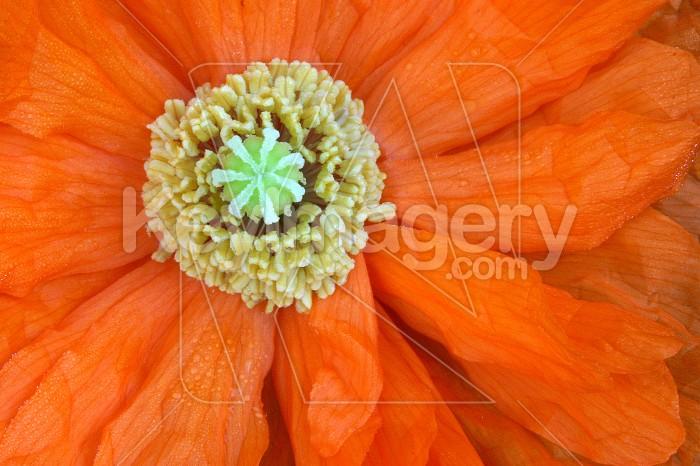 poppy central Photo #4841