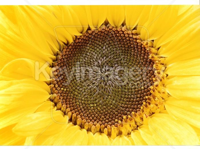 sunflower Photo #4825