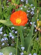 Tall Orange Poppy