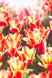 Beauty tulips, abstract environmental backgrounds for your desig