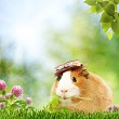 Summer natural backgrounds with funny guinea pig