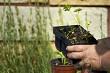 Parsley Seedlings