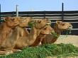 Munching Camels