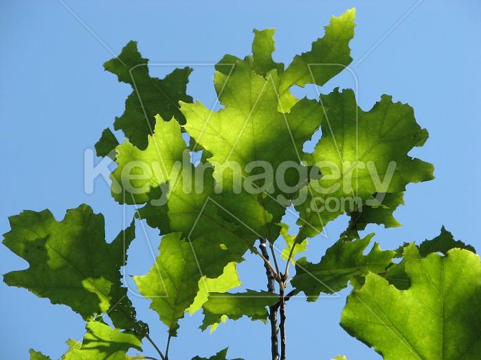 Oak leaves and sky Photo #6320