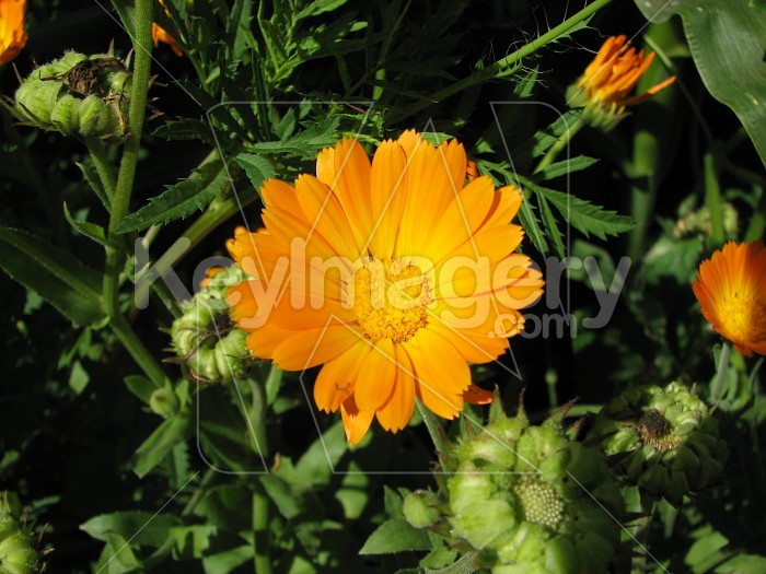 Orange flower Photo #6318