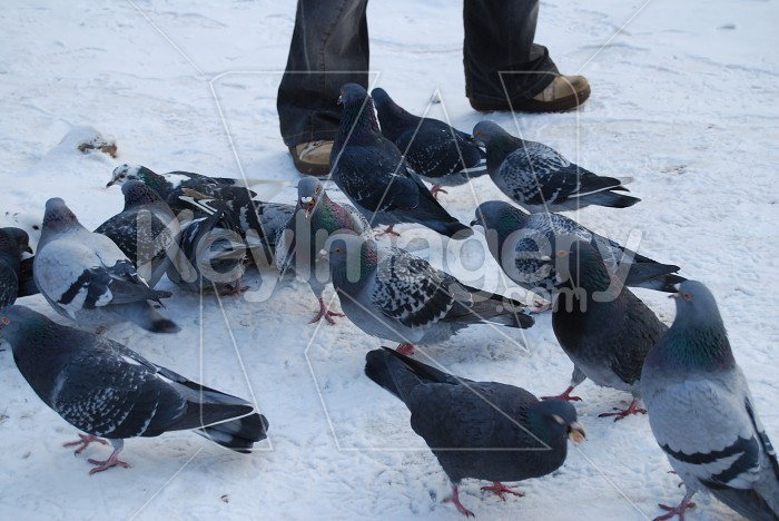 Pigeons In Winter Photo #7871