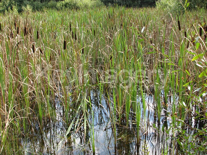 Reeds and canes Photo #6319