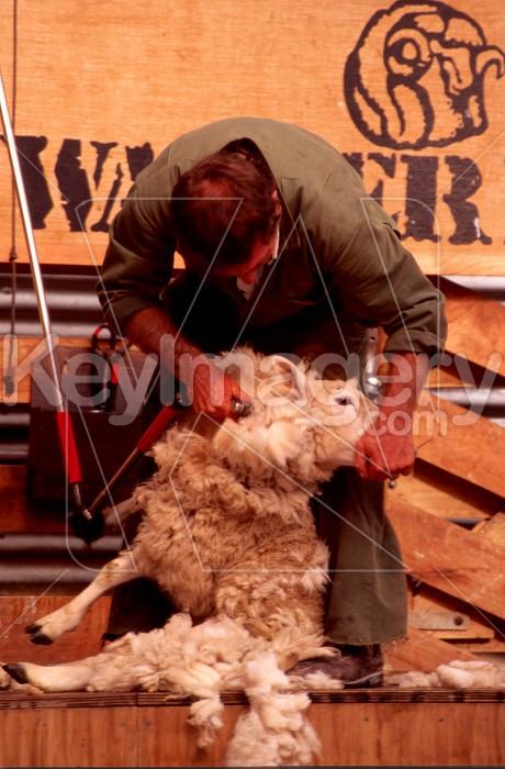Shearing Photo #56595
