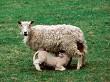 Feeding Ewe