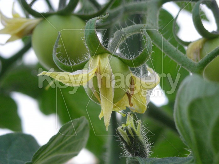 Tomatoes growing on the vine Photo #6495